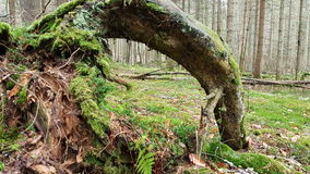 Immagine di una radice unica e bella nella foresta bavarese (Germania) Fotografia Stock Libera da Diritti
