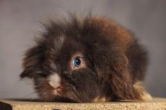 Immagine di una seduta sveglia del coniglietto del coniglio della testa del leone Immagini Stock
