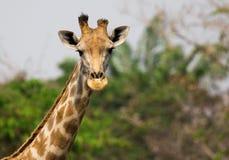 Immagine di una testa della giraffa sul fondo della natura Fotografia Stock