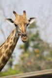 Immagine di una testa della giraffa sul fondo della natura Immagini Stock
