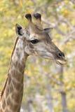Immagine di una testa della giraffa sul fondo della natura Immagine Stock Libera da Diritti