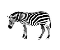 Immagine di una zebra Fotografie Stock Libere da Diritti