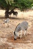 Zebra femminile con i giovani Immagini Stock