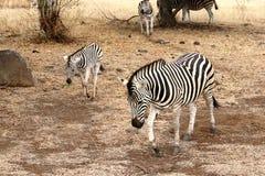 Zebra e giovani femminili Fotografia Stock Libera da Diritti