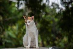 Immagine di uno sguardo fisso del gatto alla vittima, gatto tailandese Fotografie Stock Libere da Diritti
