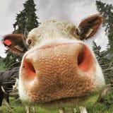 Immagine divertente di un primo piano della mucca Immagine Stock Libera da Diritti