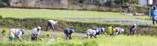 Immagine editoriale documentaria Il gruppo non identificato di donne ha trapiantato i tiri che del riso piantano il nuovo raccolt Immagine Stock