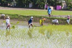 Immagine editoriale documentaria Il gruppo non identificato di donne ha trapiantato i tiri che del riso piantano il nuovo raccolt Fotografia Stock Libera da Diritti