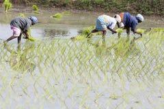 Immagine editoriale documentaria Il gruppo non identificato di donne ha trapiantato i tiri che del riso piantano il nuovo raccolt Immagini Stock