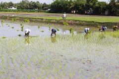 Immagine editoriale documentaria Il gruppo non identificato di donne ha trapiantato i tiri che del riso piantano il nuovo raccolt Fotografia Stock