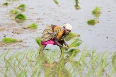 Immagine editoriale documentaria Le donne non identificate hanno trapiantato i tiri che del riso piantano il nuovo raccolto nella Fotografie Stock Libere da Diritti