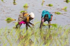 Immagine editoriale documentaria Le donne non identificate hanno trapiantato i tiri che del riso piantano il nuovo raccolto nella Fotografie Stock