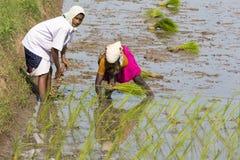 Immagine editoriale documentaria Le donne non identificate hanno trapiantato i tiri che del riso piantano il nuovo raccolto nella Immagini Stock