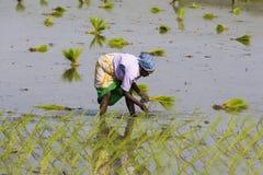 Immagine editoriale documentaria Le donne non identificate hanno trapiantato i tiri che del riso piantano il nuovo raccolto nella Fotografia Stock