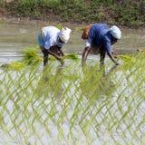 Immagine editoriale documentaria Le donne non identificate hanno trapiantato i tiri che del riso piantano il nuovo raccolto nella Immagini Stock Libere da Diritti