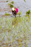 Immagine editoriale documentaria Le donne non identificate hanno trapiantato i tiri che del riso piantano il nuovo raccolto nella Fotografia Stock Libera da Diritti