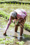 Immagine editoriale documentaria Ritratto dell'agricoltore anziano di balinese Immagine Stock Libera da Diritti
