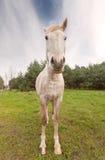 Immagine grandangolare di un cavallo Fotografia Stock