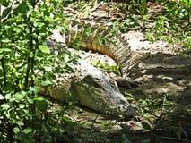 Immagine isolata del primo piano del coccodrillo dell'alligatore che si nasconde nei cespugli Fotografia Stock Libera da Diritti