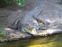 Immagine isolata del primo piano della bocca aperta della mandibola del coccodrillo dell'alligatore Fotografie Stock