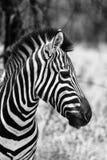 Immagine laterale capa di profilo della zebra in bianco e nero Fotografia Stock Libera da Diritti