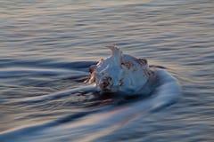 Conchiglia di strombo nell'onda di oceano immagini stock