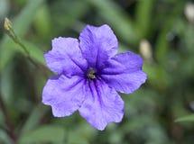 Immagine macro dei fiori viola della molla e porpora lilla, fondo floreale molle astratto immagini stock