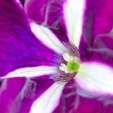 Immagine a macroistruzione della petunia Fotografia Stock Libera da Diritti
