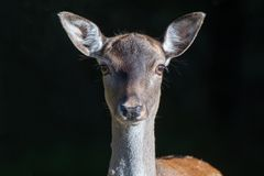 Immagine molto vicina di un cervo femminile che guarda in avanti fotografie stock