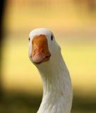 Oca curiosa notevole Fotografia Stock