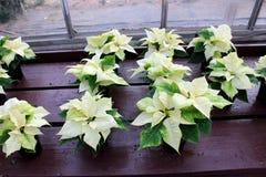 Immagine pacifica di grande bianco e delle foglie verdi con i fiori gialli delle piante della stella di Natale sulle tavole di le fotografie stock libere da diritti
