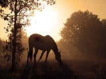 Immagine pacifica di un cavallo di pascolo contro alba Fotografie Stock Libere da Diritti