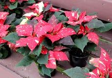 Immagine pacifica grandi rosso, bianco e delle foglie verdi con i fiori gialli delle piante della stella di Natale sulle tavole d fotografia stock libera da diritti