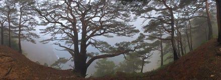 Immagine panoramica dei pini nella nebbia densa Fotografia Stock Libera da Diritti