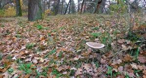Immagine panoramica della lettiera nella foresta di autunno ad ottobre Fotografia Stock Libera da Diritti