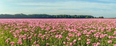 Immagine panoramica delle piante di fioritura rosa del papavero su un campo olandese Immagini Stock Libere da Diritti