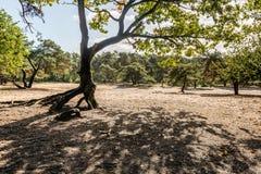 Immagine retroilluminata di un pino scozzese in un'area sabbiosa Fotografie Stock