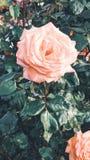 Immagine rosa di colore arancio nella priorit? alta fotografia stock libera da diritti