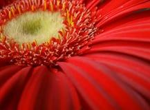 Immagine rossa di macro del fiore Immagini Stock