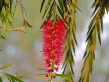 Immagine rossa scintillante del fiore Fotografie Stock