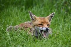 Immagine sbalorditiva dei vulpes di vulpes della volpe rossa in countrysi fertile di estate Fotografia Stock