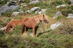 Immagine sbalorditiva del cavallino selvaggio nel paesaggio di Snowdonia in autunno immagine stock libera da diritti