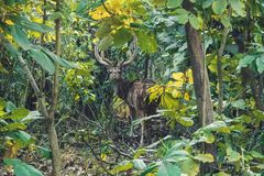 Immagine sbalorditiva del maschio dei cervi nobili in autunno nebbioso variopinto fotografie stock