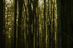 Immagine scura e triste astratta di una foresta densa con i tronchi di albero molto attentamente stanti ed il sole nei precedenti fotografia stock