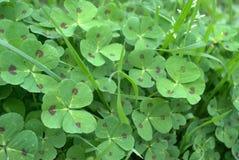 Immagine selvaggia della natura del fondo del sito Web con l'erba verde del trifoglio della primavera Fotografia Stock