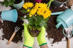 Immagine sopra le mani del ` s della persona in guanti che trapiantano fiore Fotografia Stock Libera da Diritti