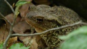 Immagine spaventata della rana in natura in una foresta della montagna stock footage