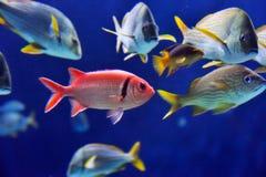 Immagine subacquea dei pesci Immagine Stock