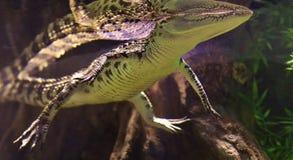 Immagine subacquea - galleggiamento & riflessione dell'alligatore Fotografie Stock