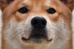 Immagine sveglia del fronte del cane del primo piano di Shiba del cane immagini stock
